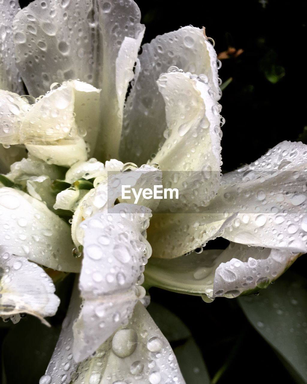 water, flower, drop, white color, beauty in nature, nature, wet, freshness, growth, petal, no people, close-up, fragility, flower head, plant, day, purity, outdoors