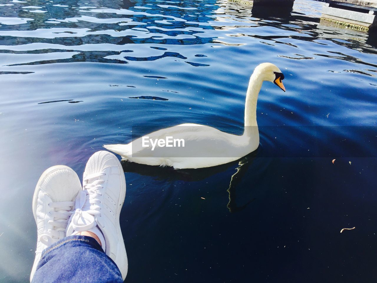 water, animal themes, swan, lake, white color, low section, day, animals in the wild, one animal, high angle view, real people, outdoors, human leg, one person, nature, waterfront, bird, swimming