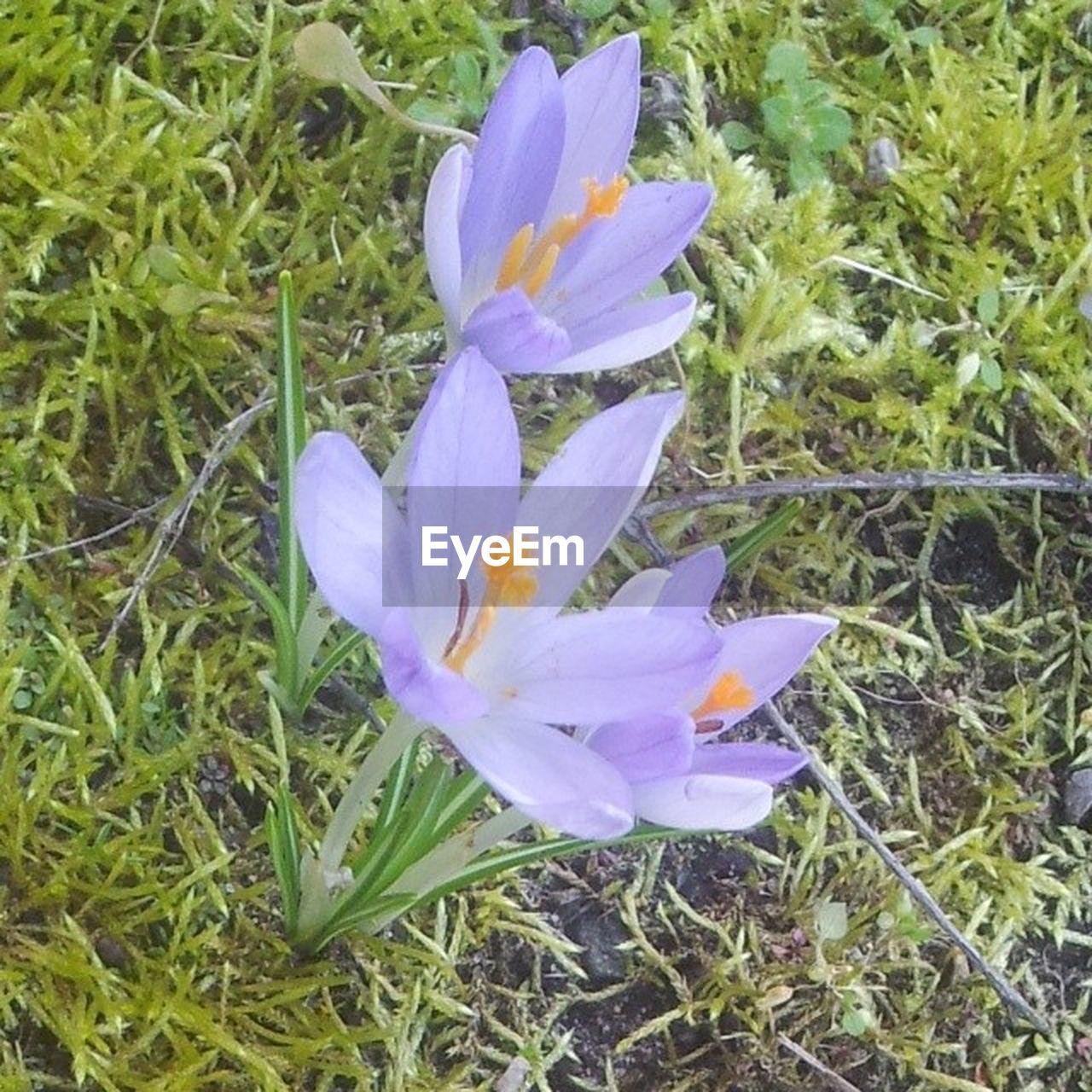 flower, growth, petal, nature, beauty in nature, blooming, field, plant, no people, flower head, fragility, freshness, grass, outdoors, crocus, day, close-up