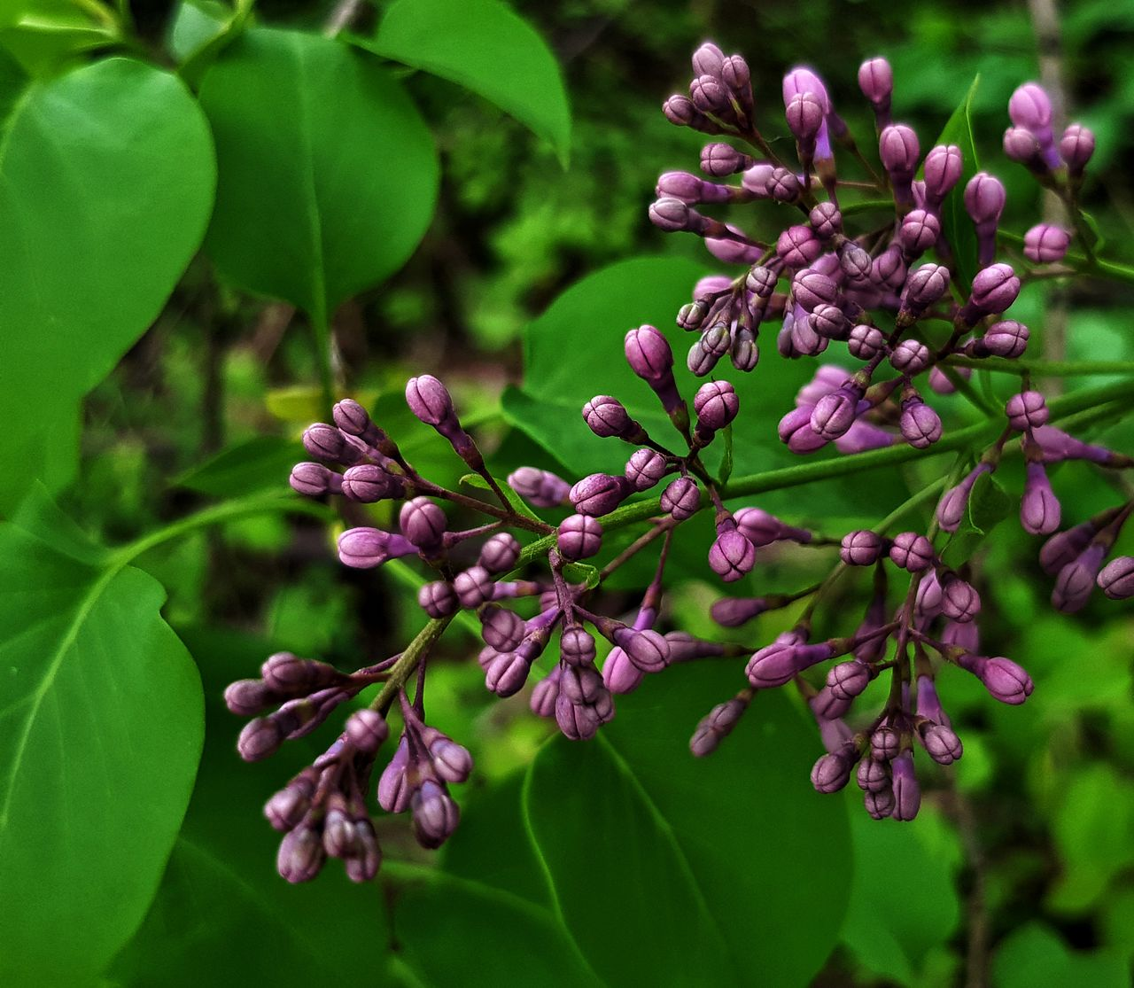growth, plant, plant part, leaf, green color, freshness, beauty in nature, close-up, nature, flower, day, focus on foreground, flowering plant, no people, purple, fragility, food and drink, vulnerability, tree, food, outdoors, lilac