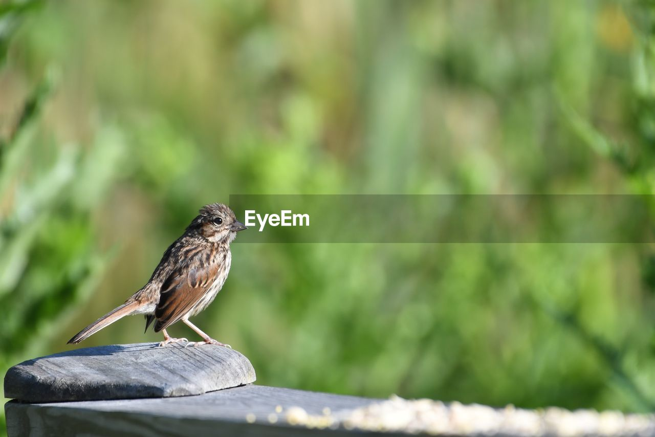 animal, animals in the wild, one animal, animal themes, animal wildlife, vertebrate, perching, bird, focus on foreground, day, no people, wood - material, selective focus, sparrow, outdoors, side view, green color, nature, close-up, full length