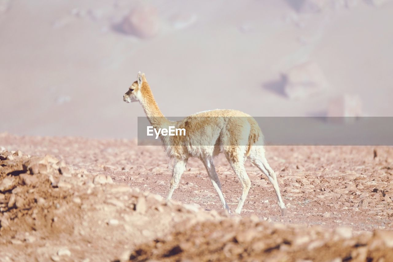 animal themes, animal, one animal, animals in the wild, animal wildlife, mammal, land, vertebrate, domestic animals, nature, no people, day, side view, full length, selective focus, environment, field, zoology, standing, beauty in nature, herbivorous, arid climate