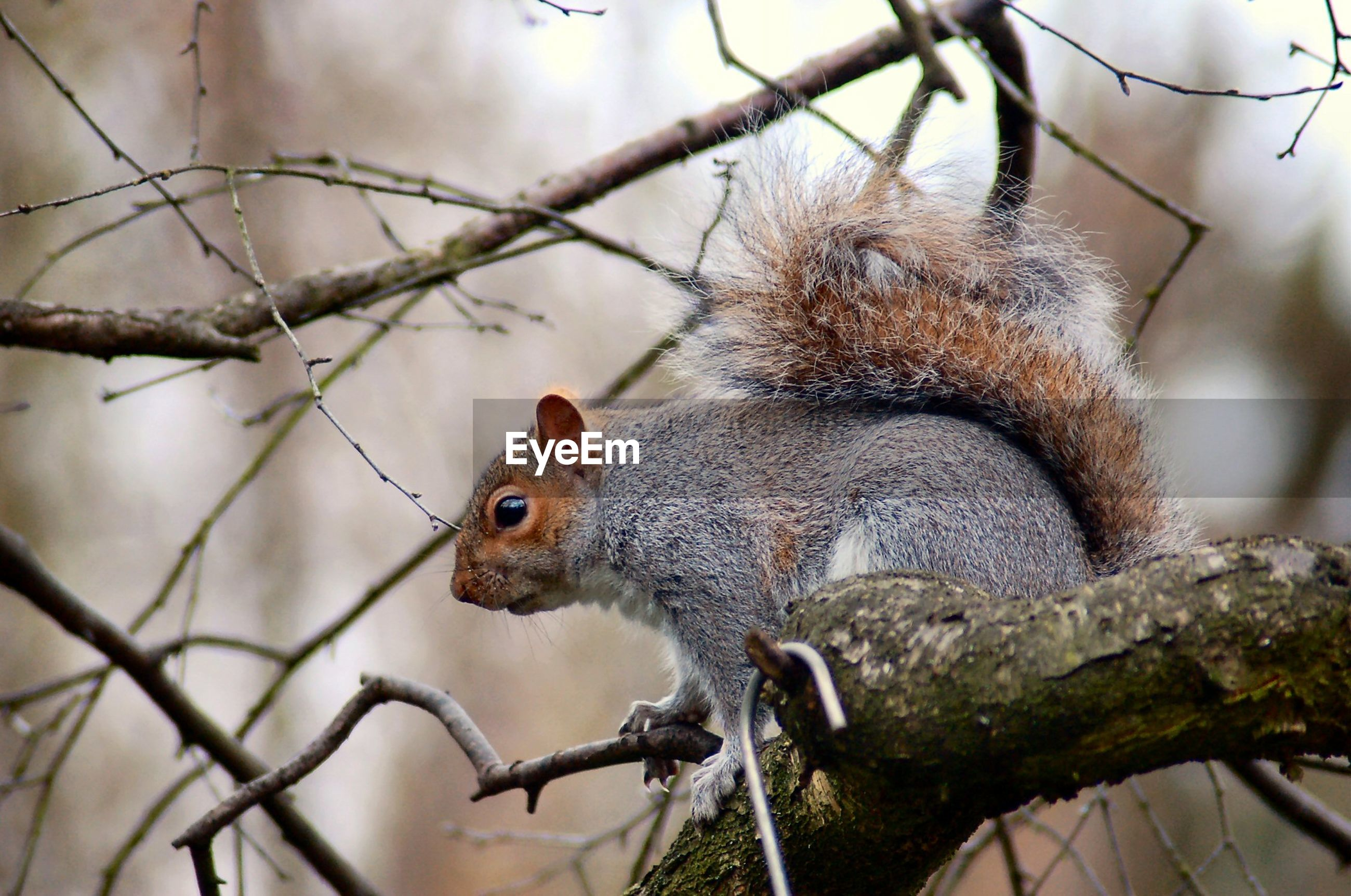 animal themes, one animal, animal, squirrel, mammal, animal wildlife, rodent, branch, focus on foreground, tree, animals in the wild, vertebrate, no people, nature, day, plant, close-up, outdoors, eating, low angle view, whisker