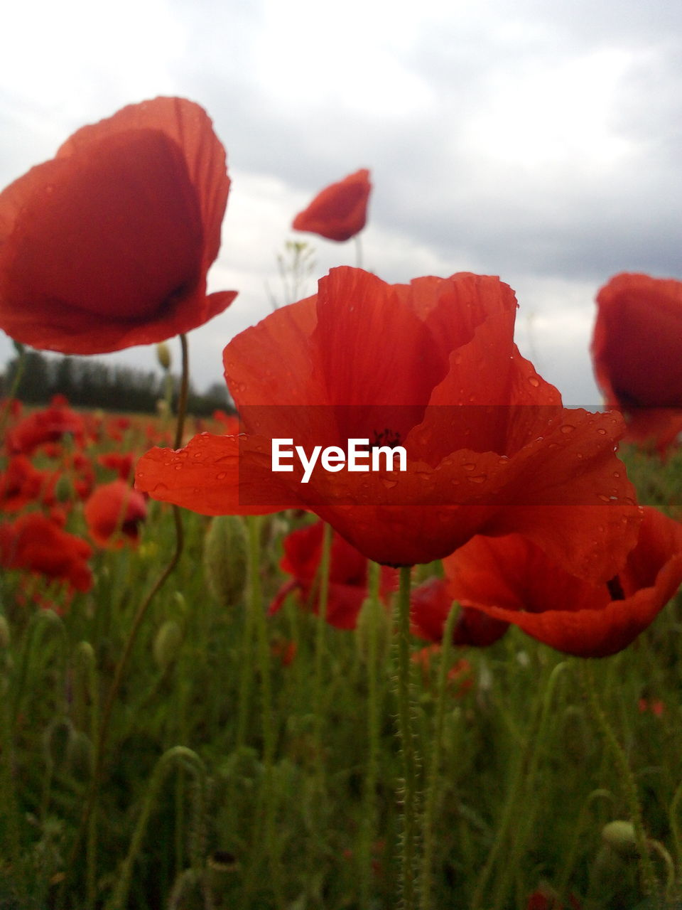 flower, nature, beauty in nature, petal, growth, fragility, red, freshness, plant, poppy, flower head, no people, field, outdoors, close-up, blooming, day, sky