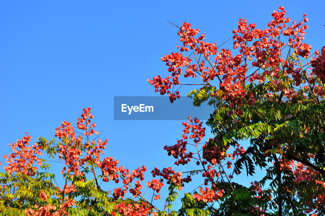 plant, sky, low angle view, beauty in nature, tree, growth, blue, autumn, no people, branch, nature, plant part, leaf, clear sky, day, change, red, freshness, tranquility, fruit, outdoors, rowanberry, maple leaf
