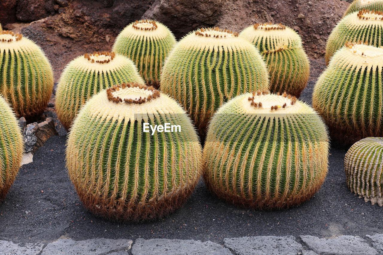 Cacti On Field