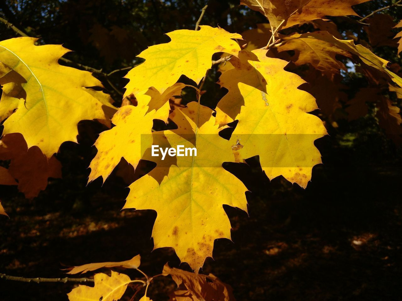 yellow, plant part, leaf, autumn, nature, change, tree, no people, close-up, beauty in nature, maple leaf, leaves, plant, outdoors, day, sunlight, growth, focus on foreground, sky, branch, natural condition, autumn collection