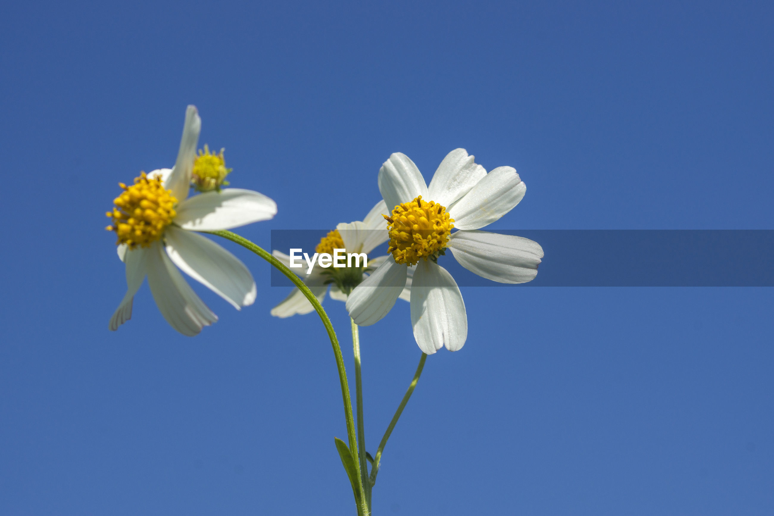 LOW ANGLE VIEW OF WHITE FLOWER AGAINST CLEAR BLUE SKY
