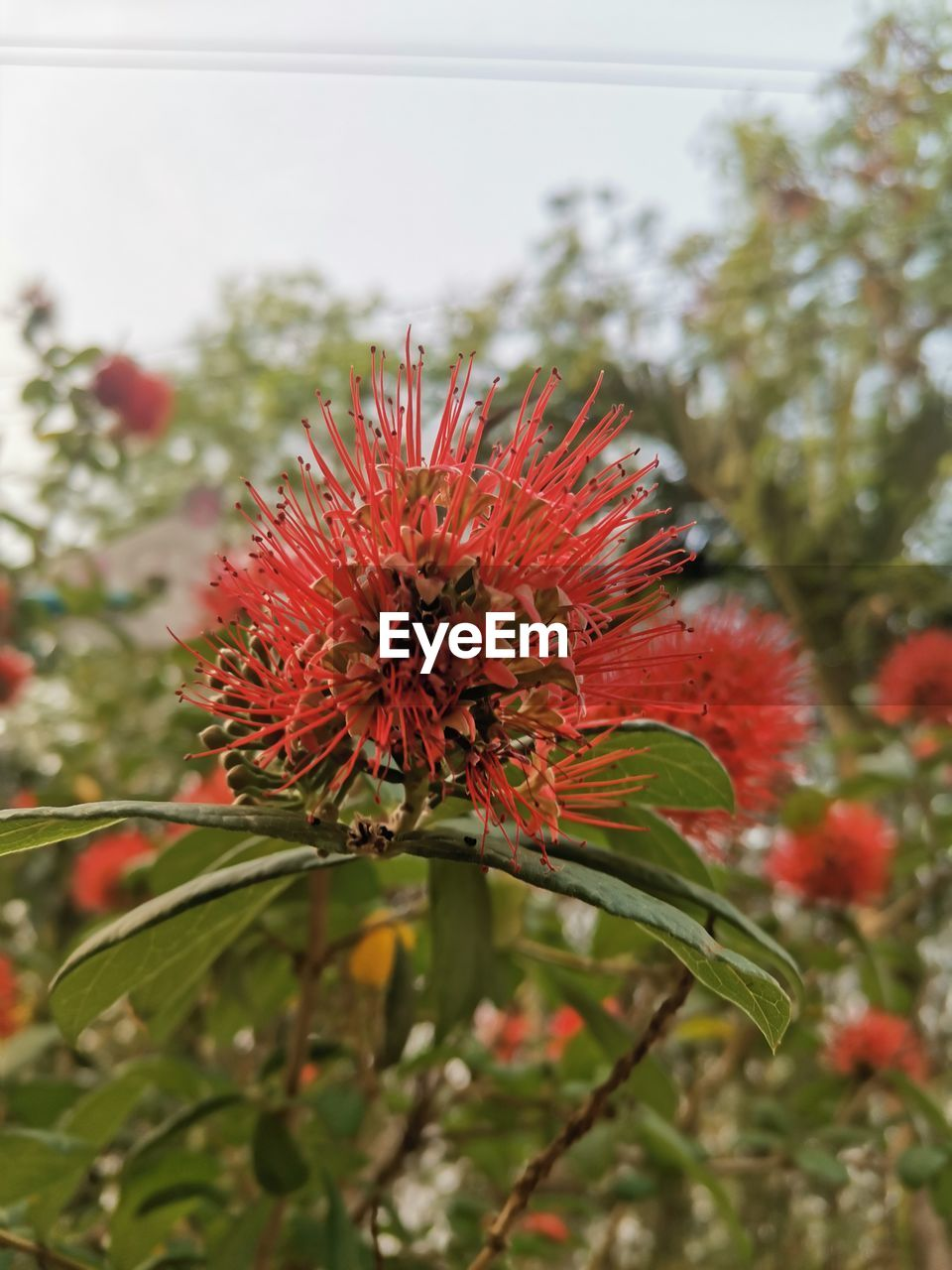 CLOSE-UP OF RED FLOWER AGAINST BLURRED BACKGROUND