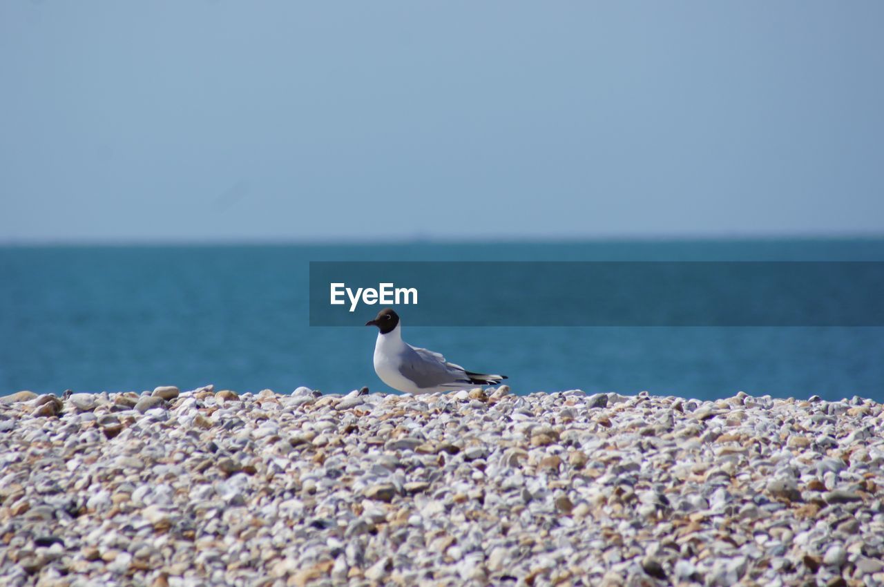 sea, water, animals in the wild, animal wildlife, sky, horizon, animal, horizon over water, bird, animal themes, vertebrate, scenics - nature, beauty in nature, beach, selective focus, nature, solid, no people, one animal, seagull, pebble