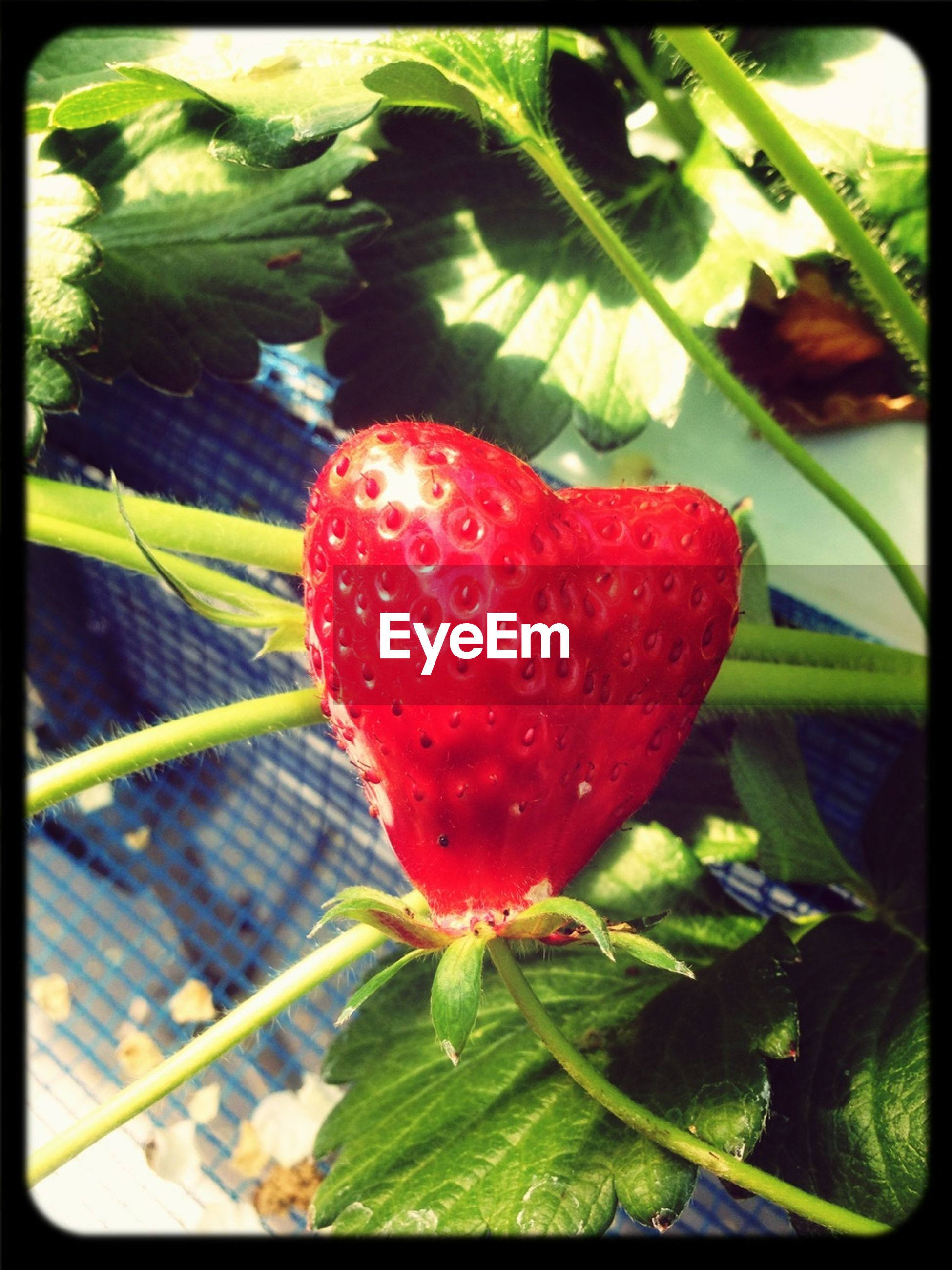 transfer print, red, freshness, leaf, growth, auto post production filter, close-up, plant, green color, nature, focus on foreground, beauty in nature, fruit, fragility, strawberry, day, wet, outdoors, growing, no people