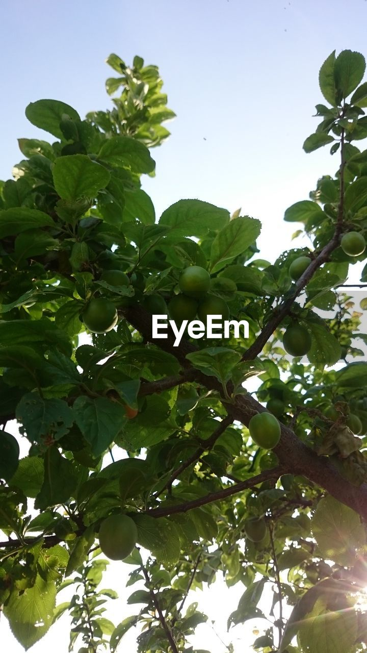 growth, food and drink, healthy eating, tree, fruit, low angle view, plant, food, green color, leaf, plant part, freshness, sky, branch, wellbeing, nature, no people, day, beauty in nature, fruit tree, outdoors