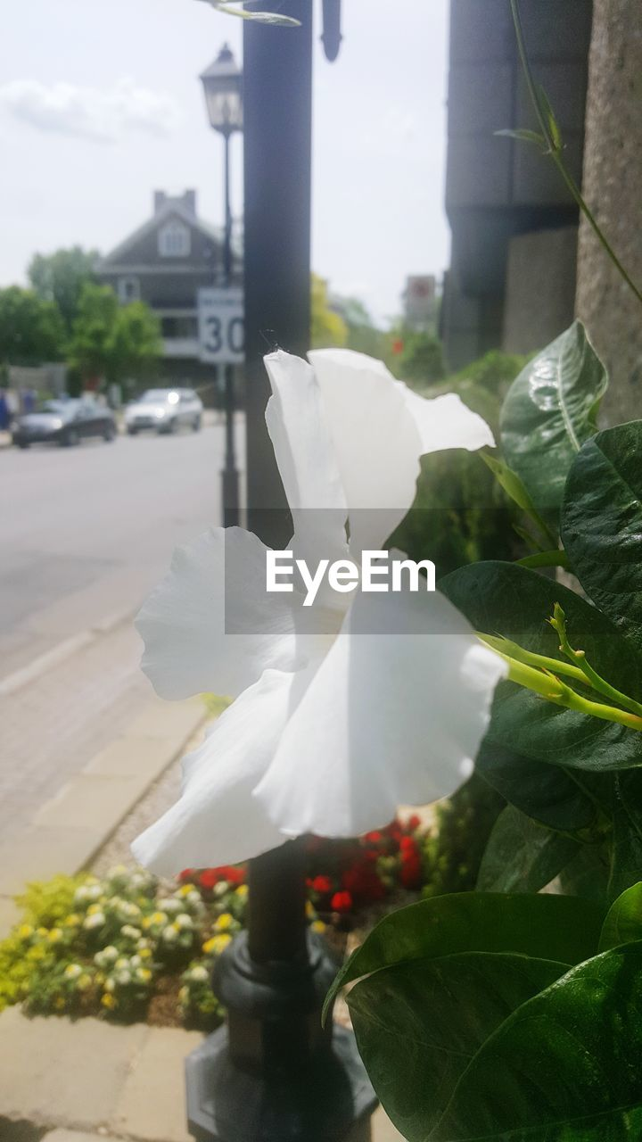 outdoors, flower, day, petal, nature, plant, growth, close-up, beauty in nature, freshness, fragility, no people, flower head, city, sky
