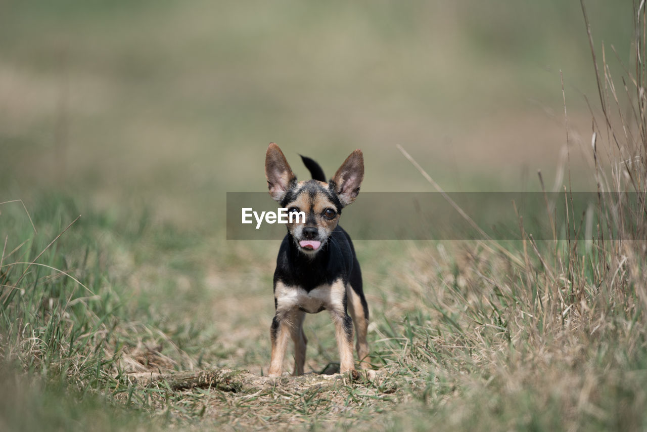 one animal, dog, canine, pets, mammal, domestic animals, domestic, animal, animal themes, grass, plant, land, vertebrate, field, looking at camera, selective focus, day, nature, portrait, running, no people, outdoors, mouth open
