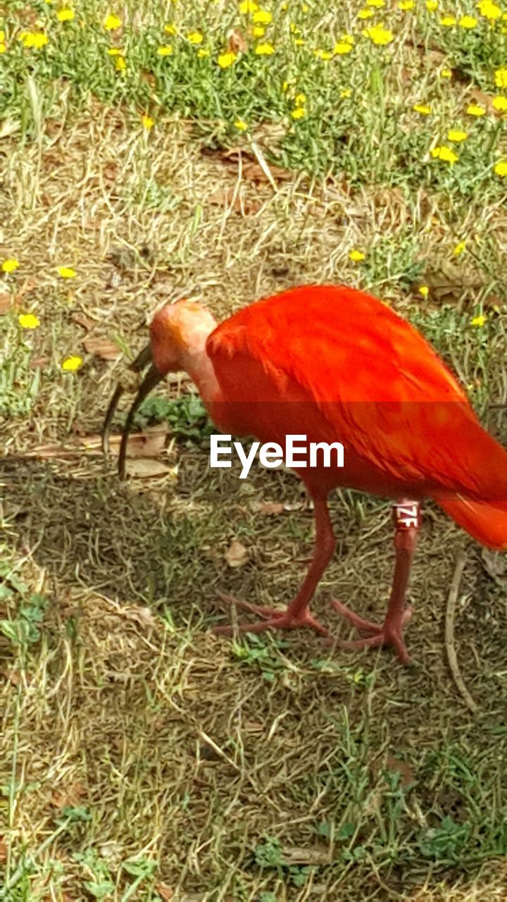 bird, one animal, animal themes, animals in the wild, no people, nature, grass, day, animal wildlife, outdoors, red, perching, close-up, beauty in nature, flamingo