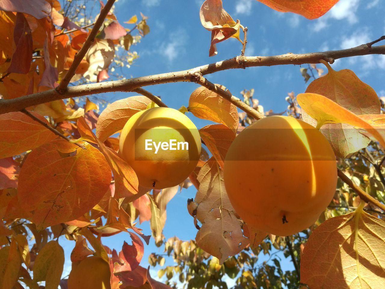fruit, food and drink, leaf, food, low angle view, tree, outdoors, yellow, day, growth, healthy eating, citrus fruit, no people, nature, close-up, autumn, freshness, beauty in nature, branch, sky