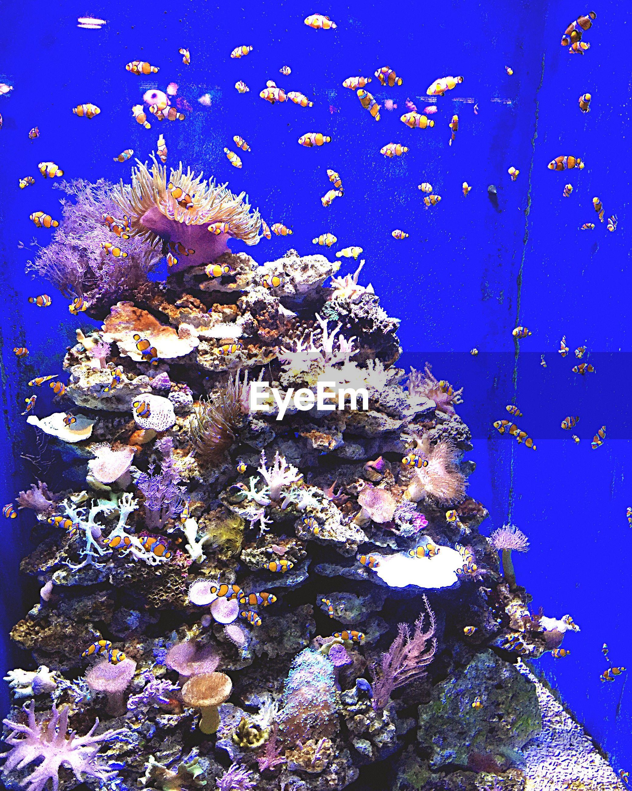 Clown fishes swimming in aquarium