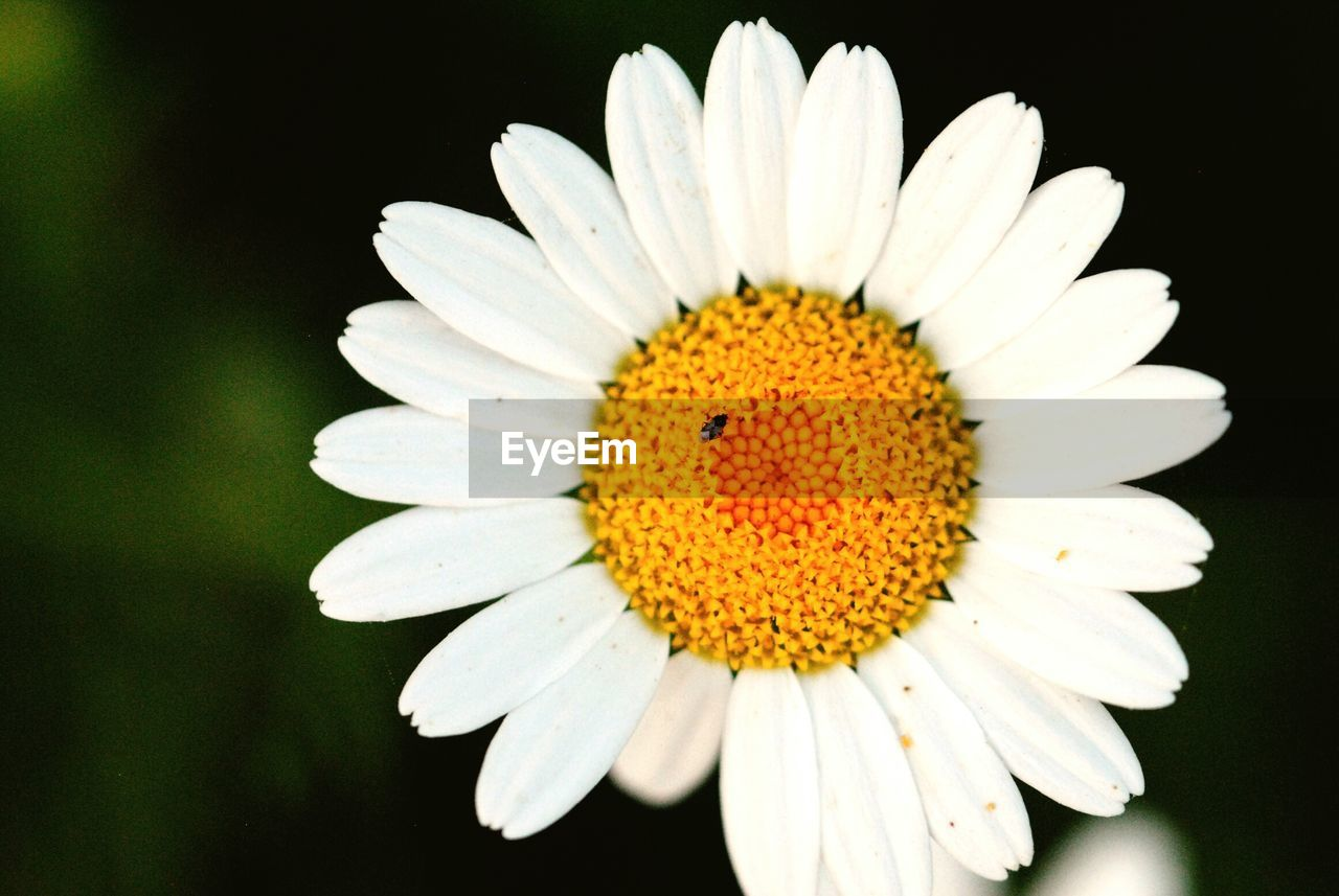 flower, petal, nature, beauty in nature, fragility, flower head, pollen, growth, freshness, yellow, close-up, no people, blooming, plant, black background, outdoors, day