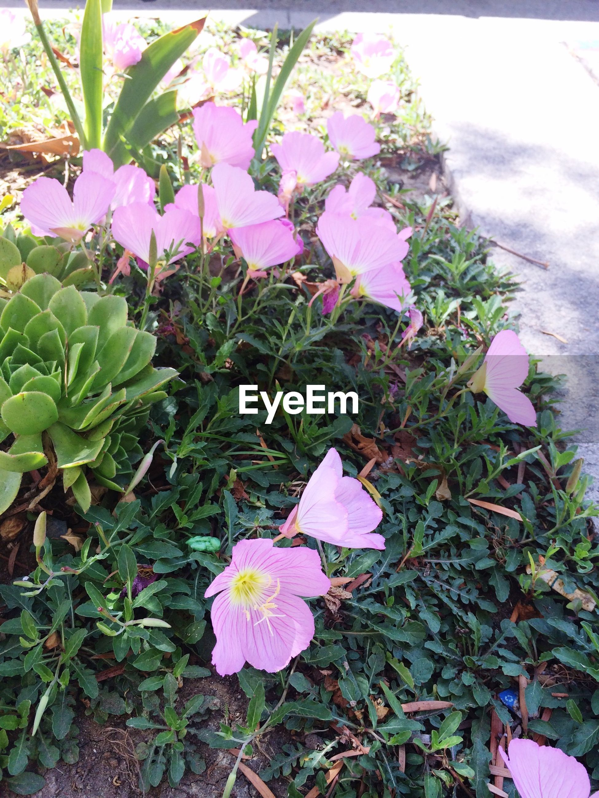 growth, plant, flower, nature, pink color, petal, leaf, day, high angle view, fragility, outdoors, no people, beauty in nature, freshness, blooming, purple, green color, flower head, close-up, petunia, periwinkle