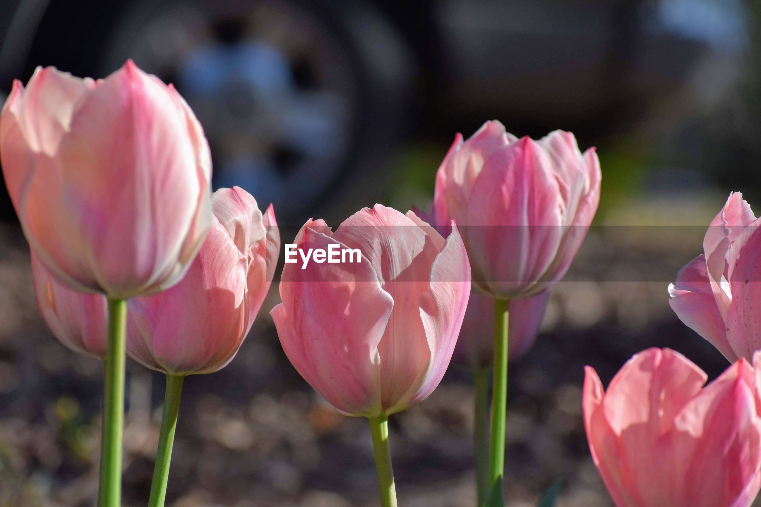 CLOSE-UP OF PINK TULIPS FLOWERS
