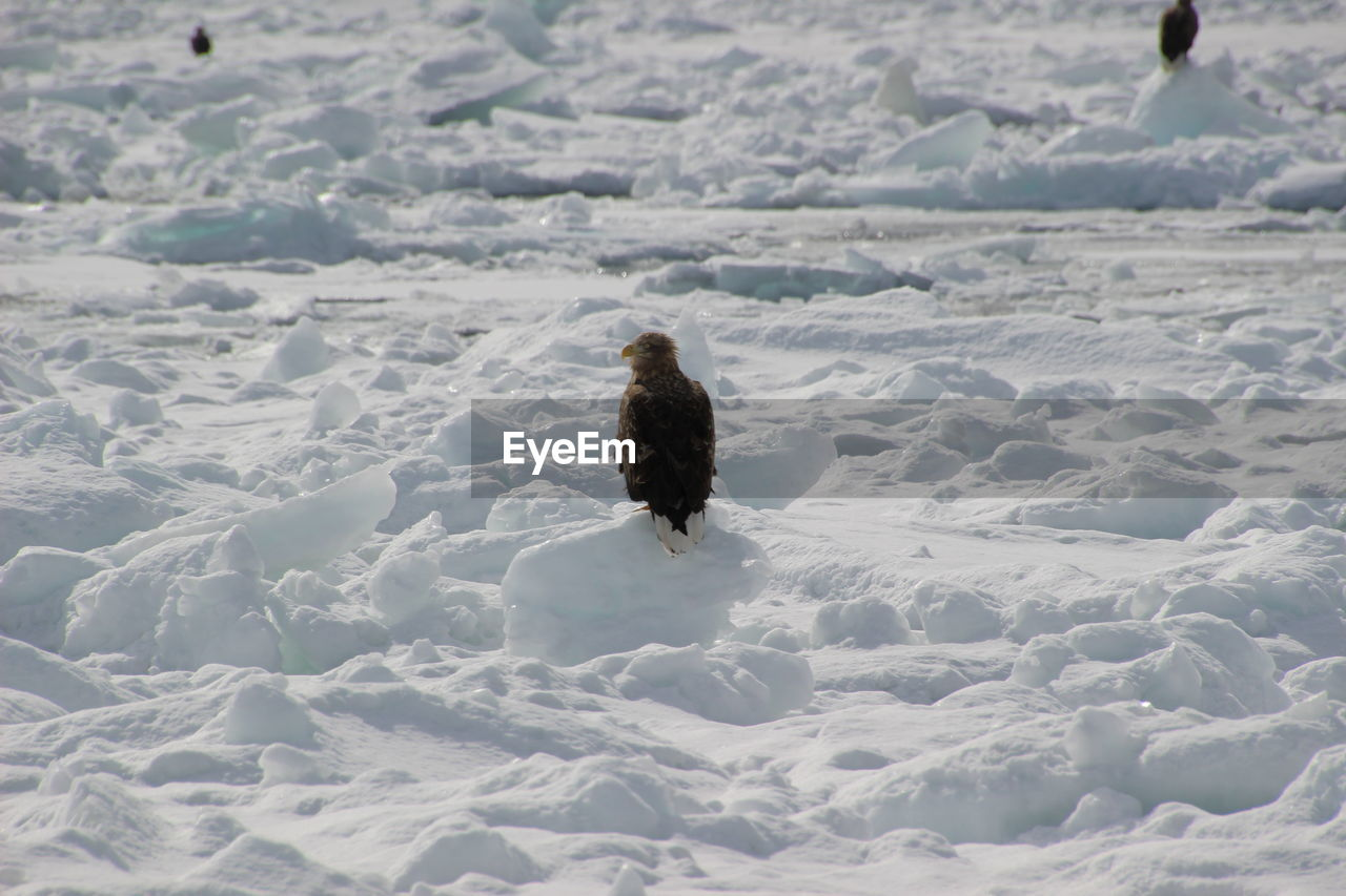 animal themes, animal, bird, one animal, animals in the wild, animal wildlife, vertebrate, snow, winter, day, nature, land, cold temperature, white color, no people, full length, rear view, outdoors, beauty in nature