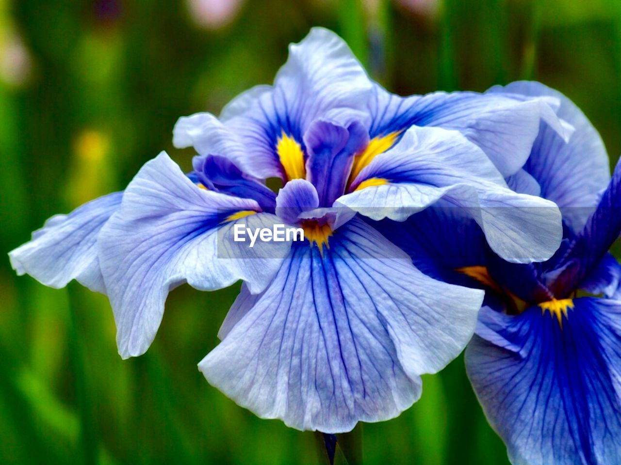 flowering plant, flower, fragility, vulnerability, freshness, petal, plant, beauty in nature, flower head, inflorescence, close-up, growth, purple, blue, focus on foreground, nature, no people, day, iris - plant, botany, pollen, softness