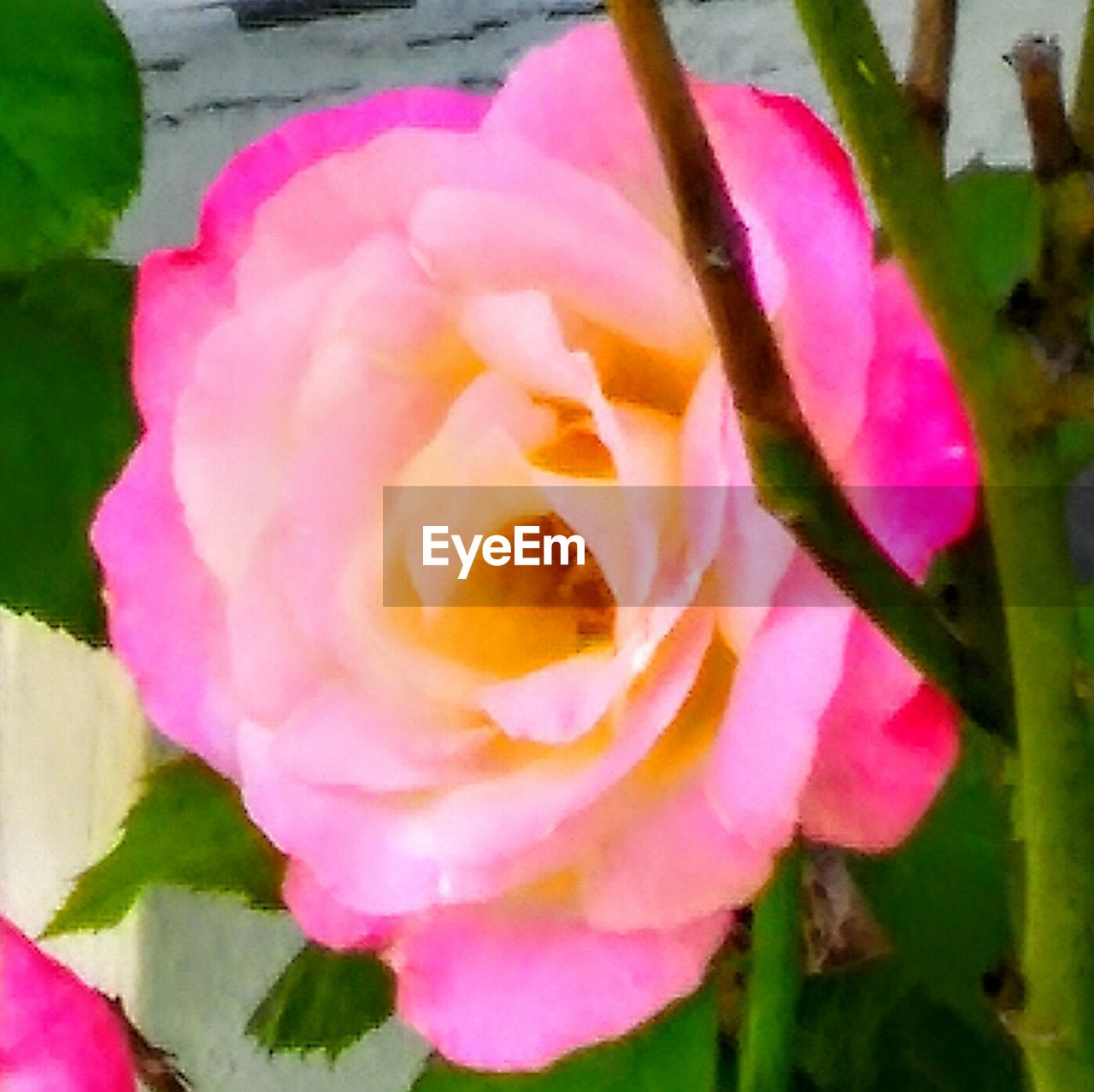 flower, petal, nature, beauty in nature, fragility, growth, plant, flower head, freshness, blooming, no people, pink color, close-up, outdoors, day