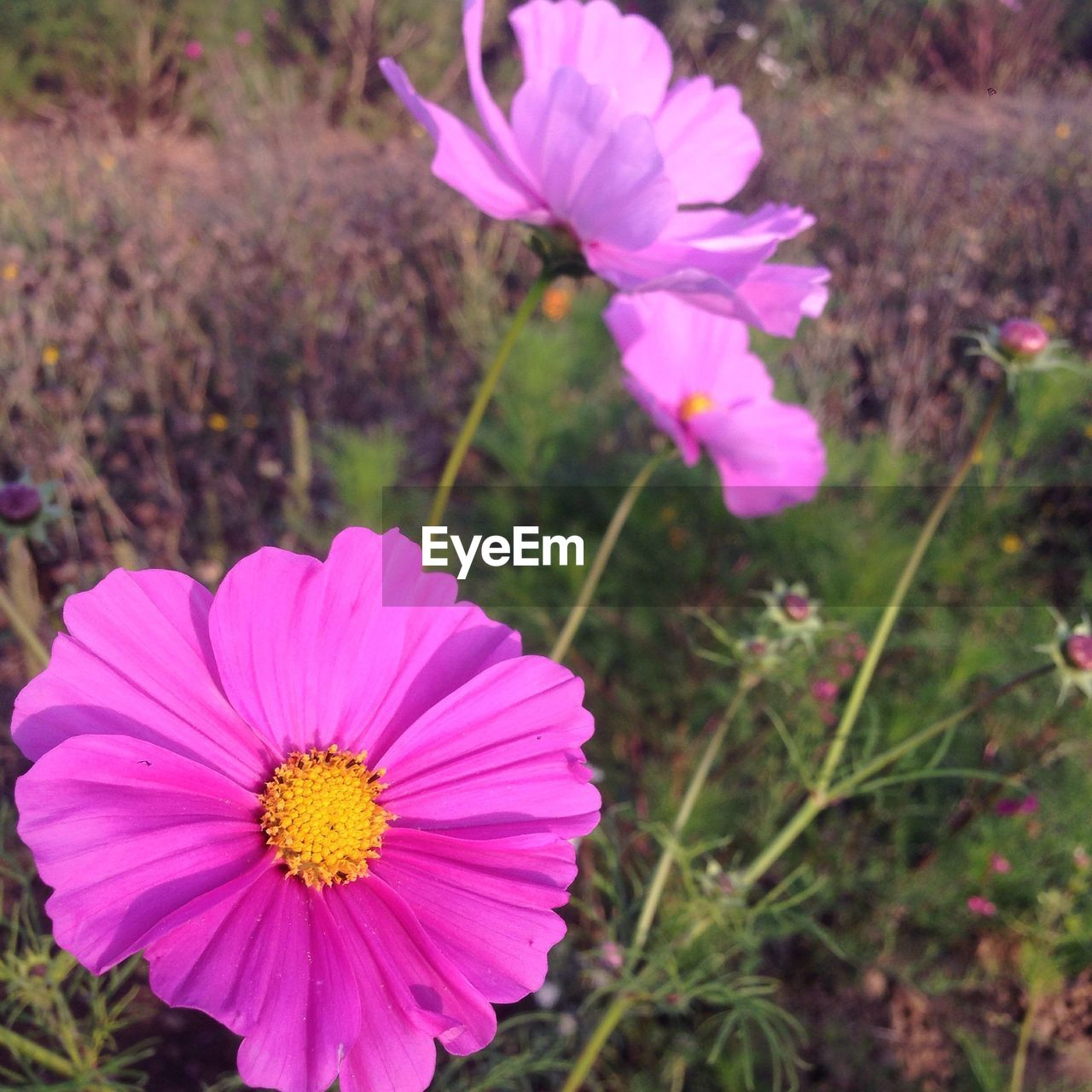 flower, petal, flower head, beauty in nature, fragility, nature, growth, freshness, plant, blooming, pollen, pink color, field, outdoors, no people, day, cosmos flower, yellow, close-up, focus on foreground, springtime, zinnia, eastern purple coneflower