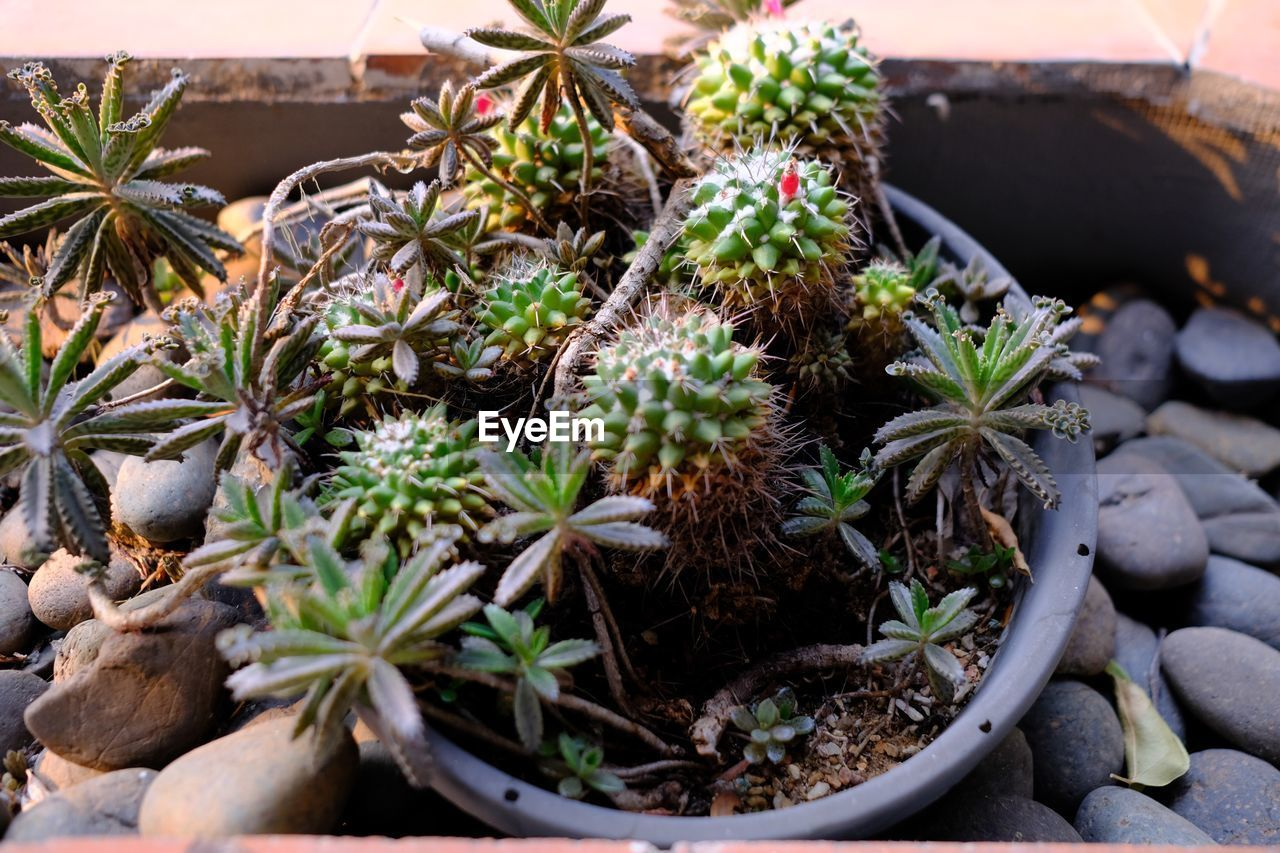HIGH ANGLE VIEW OF SUCCULENT PLANTS IN POT