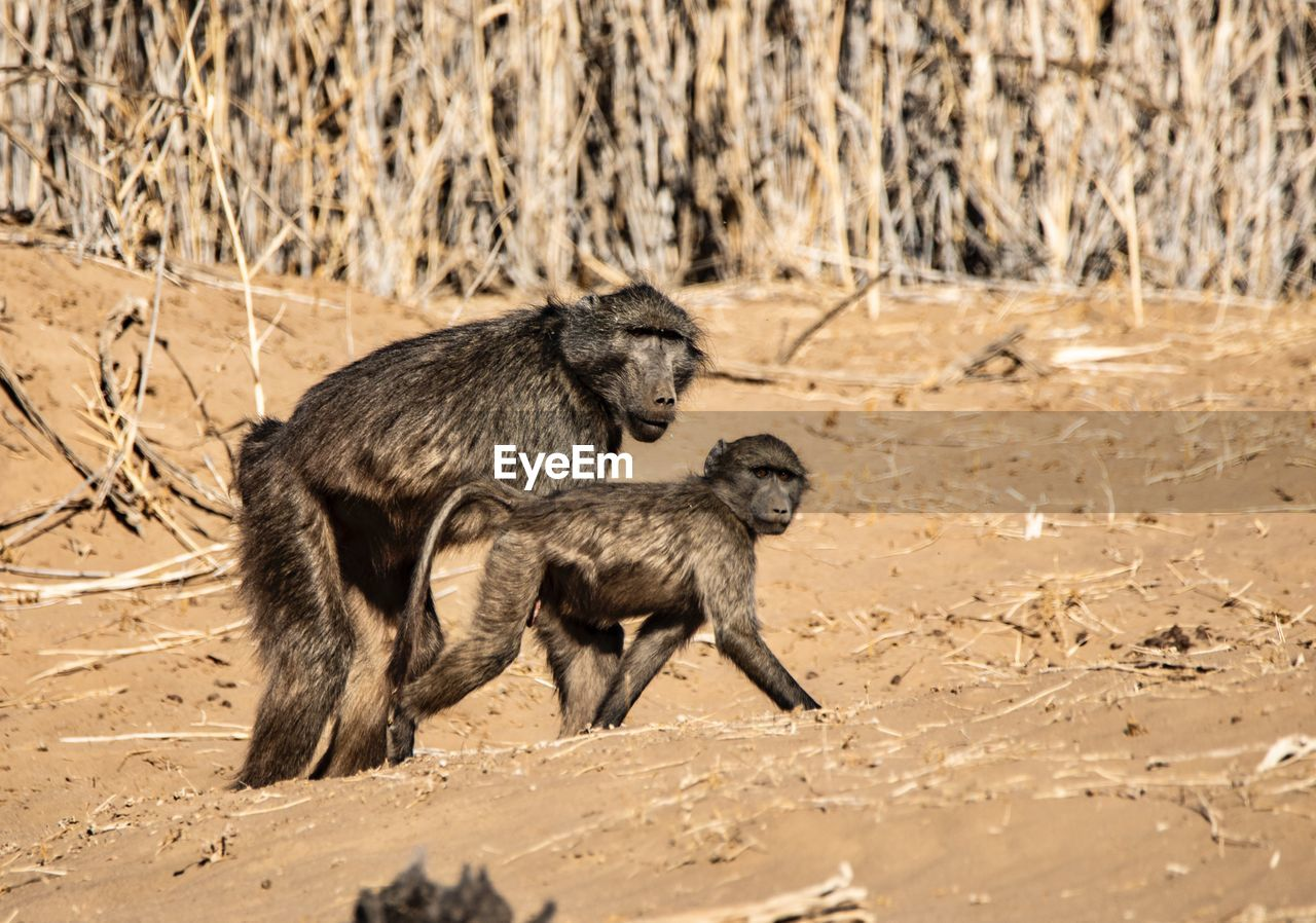 mammal, animal wildlife, animals in the wild, group of animals, primate, vertebrate, two animals, young animal, baboon, no people, land, nature, dry, animal behavior, full length, animal family, arid climate, climate, semi-arid