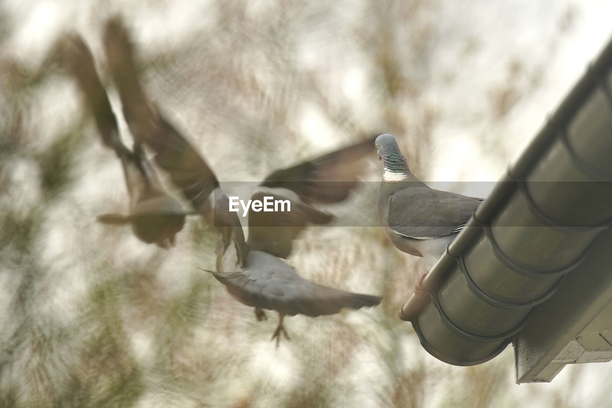CLOSE-UP OF PIGEON FLYING IN THE FIELD