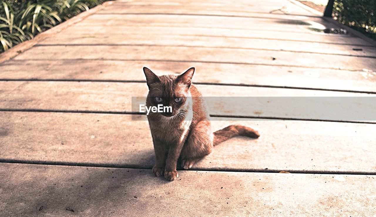 animal themes, animal, mammal, pets, domestic, one animal, domestic animals, cat, domestic cat, vertebrate, feline, sunlight, portrait, footpath, looking at camera, day, wood - material, no people, nature, boardwalk, outdoors, whisker, mouth open