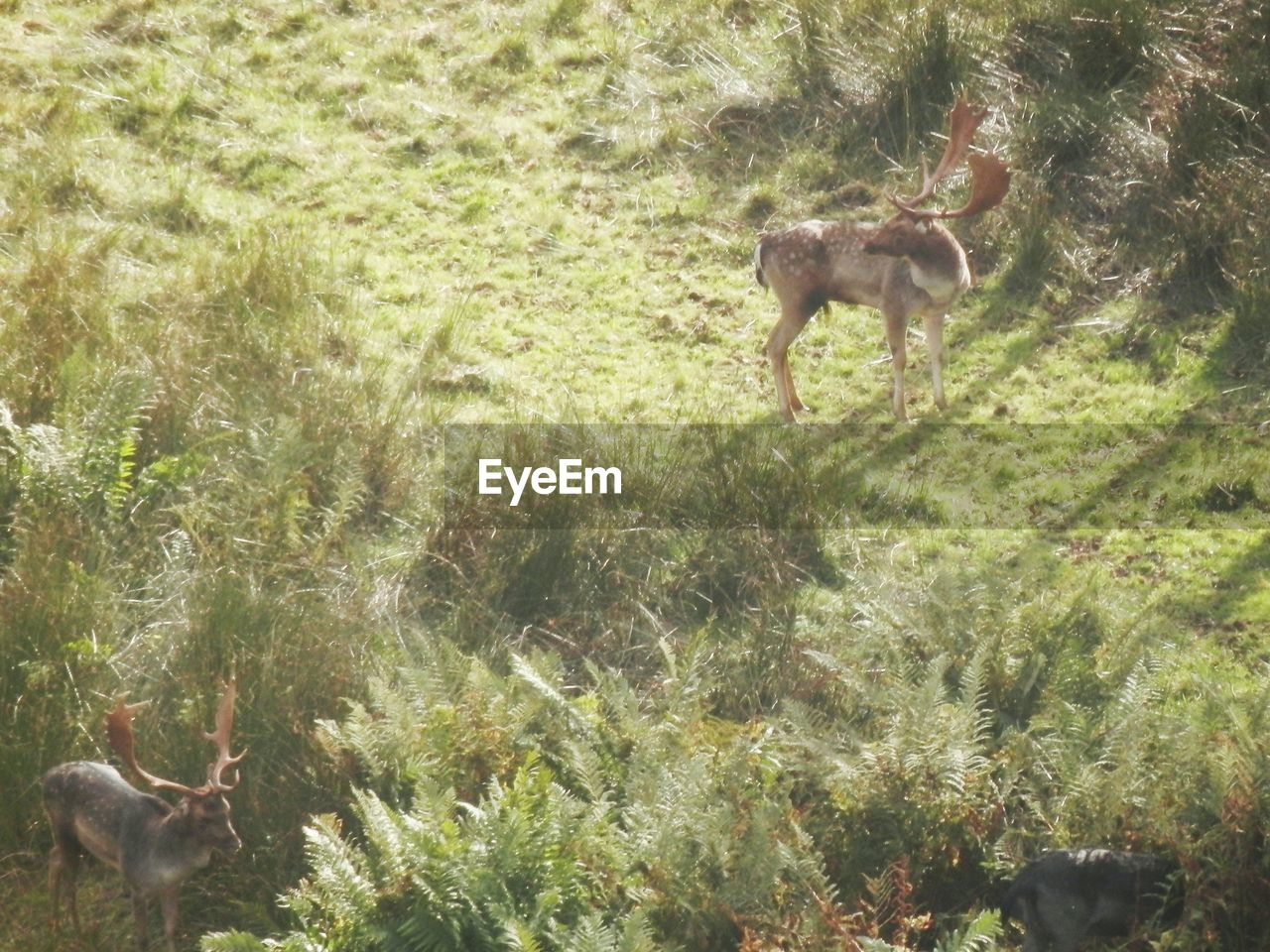 one animal, animal themes, animals in the wild, deer, mammal, animal wildlife, grass, nature, day, no people, outdoors, antler, stag, standing, full length