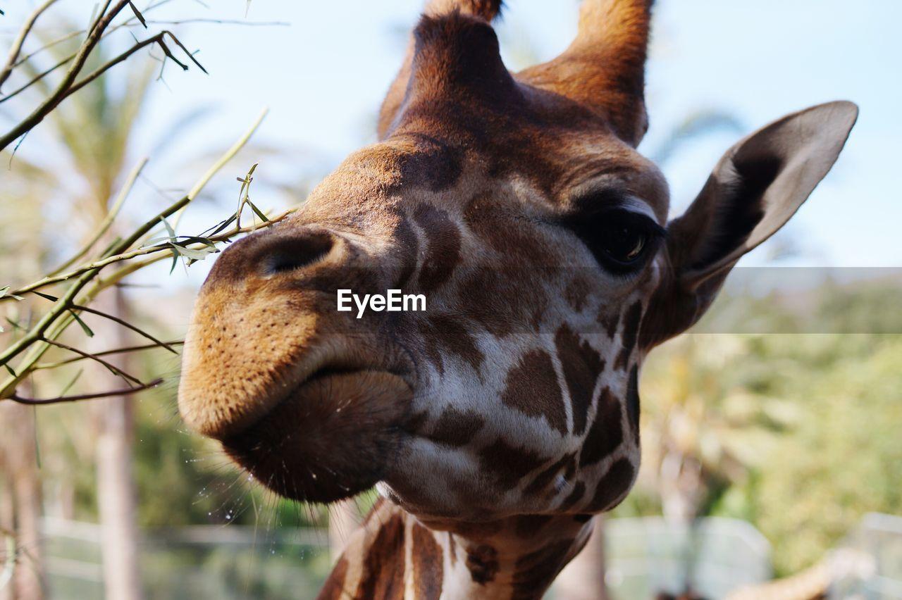 Close-Up Of Giraffe At Zoo