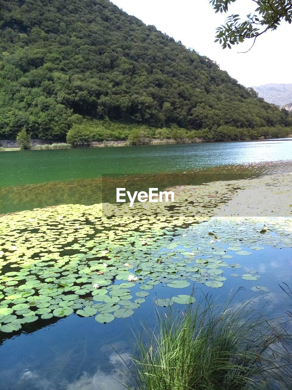 water, nature, lake, beauty in nature, tree, growth, tranquility, tranquil scene, scenics, day, plant, outdoors, no people, reflection, leaf, mountain, waterfront, green color, floating on water, lily pad, flower, sky