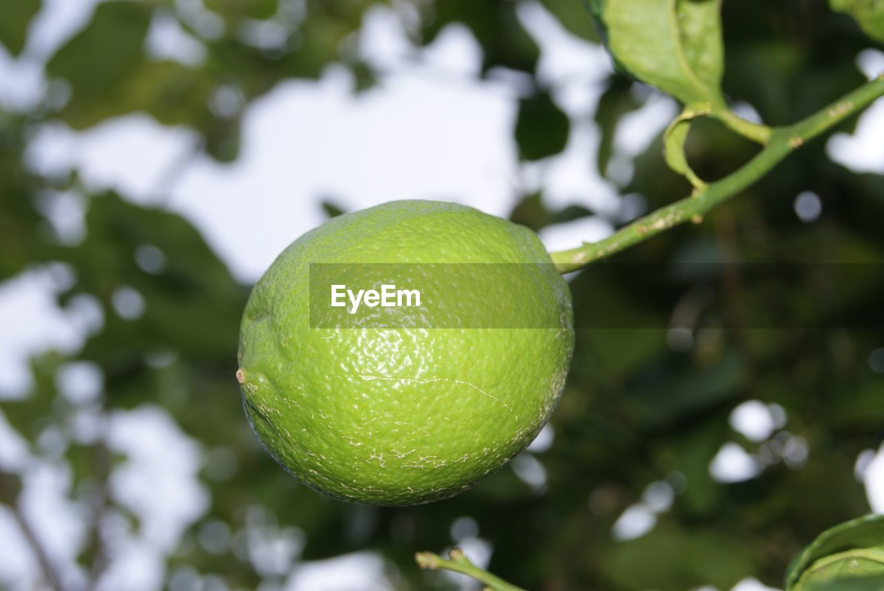 fruit, green color, citrus fruit, growth, freshness, lemon, healthy eating, focus on foreground, food and drink, leaf, tree, food, day, nature, close-up, outdoors, no people, branch, low angle view, beauty in nature