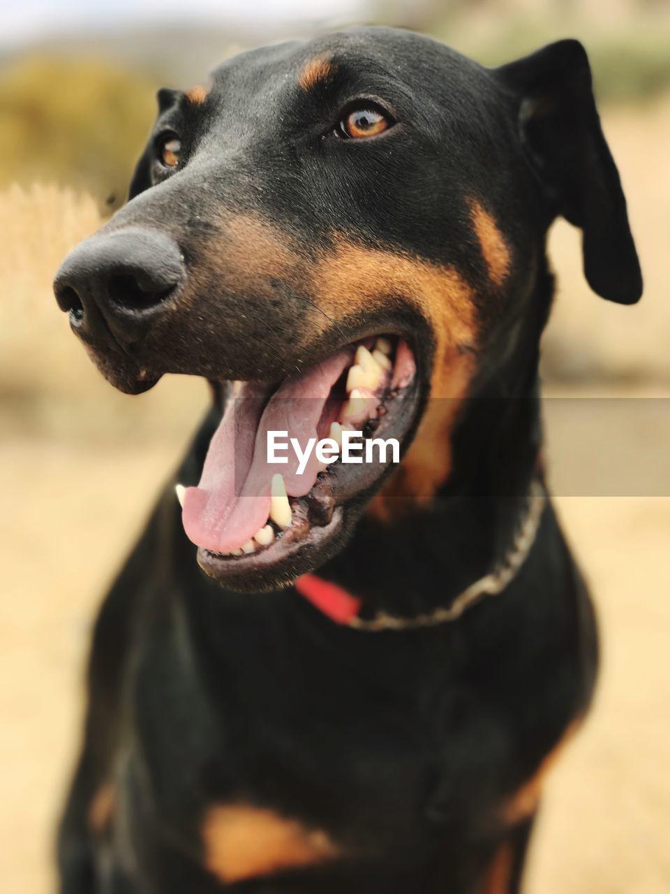 CLOSE-UP OF BLACK DOG OUTDOORS
