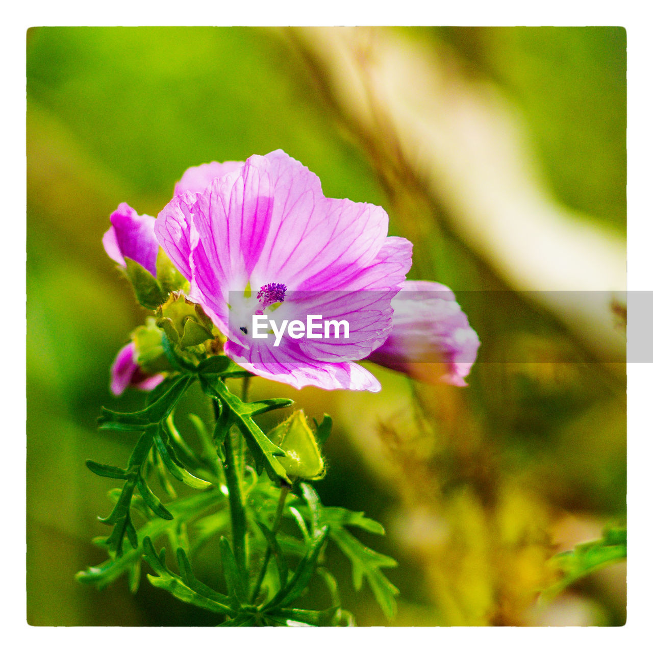 flower, petal, nature, growth, beauty in nature, fragility, plant, freshness, flower head, blooming, no people, focus on foreground, close-up, outdoors, day, green color, pink color