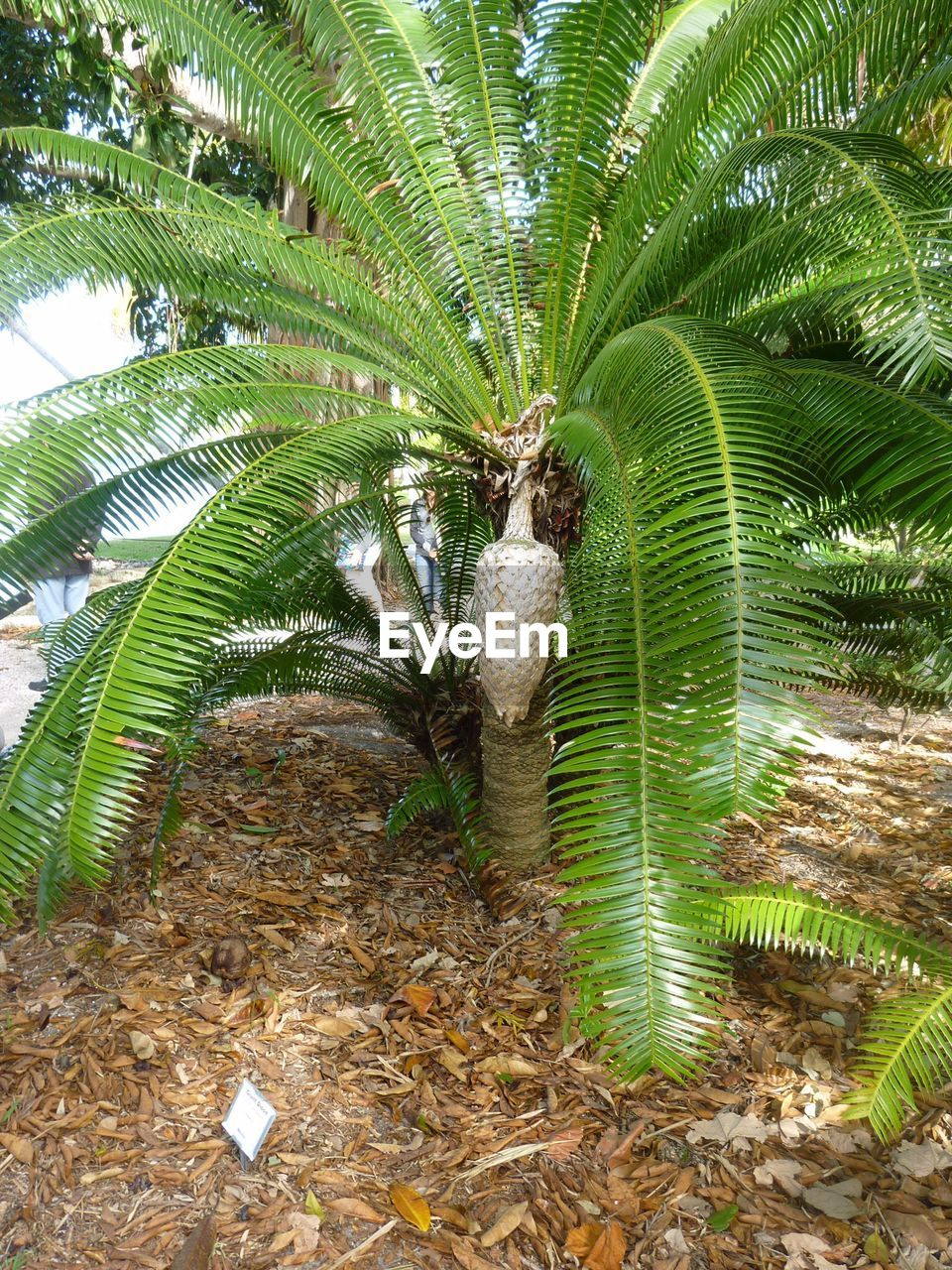 growth, nature, palm tree, green color, plant, day, leaf, no people, outdoors, beauty in nature, tree, banana tree, close-up, freshness