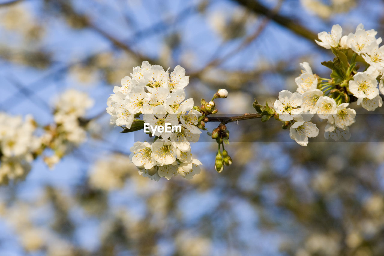 flower, fragility, beauty in nature, blossom, springtime, apple blossom, white color, nature, growth, tree, apple tree, botany, freshness, branch, orchard, petal, close-up, day, no people, focus on foreground, low angle view, outdoors, flower head, plum blossom, blooming