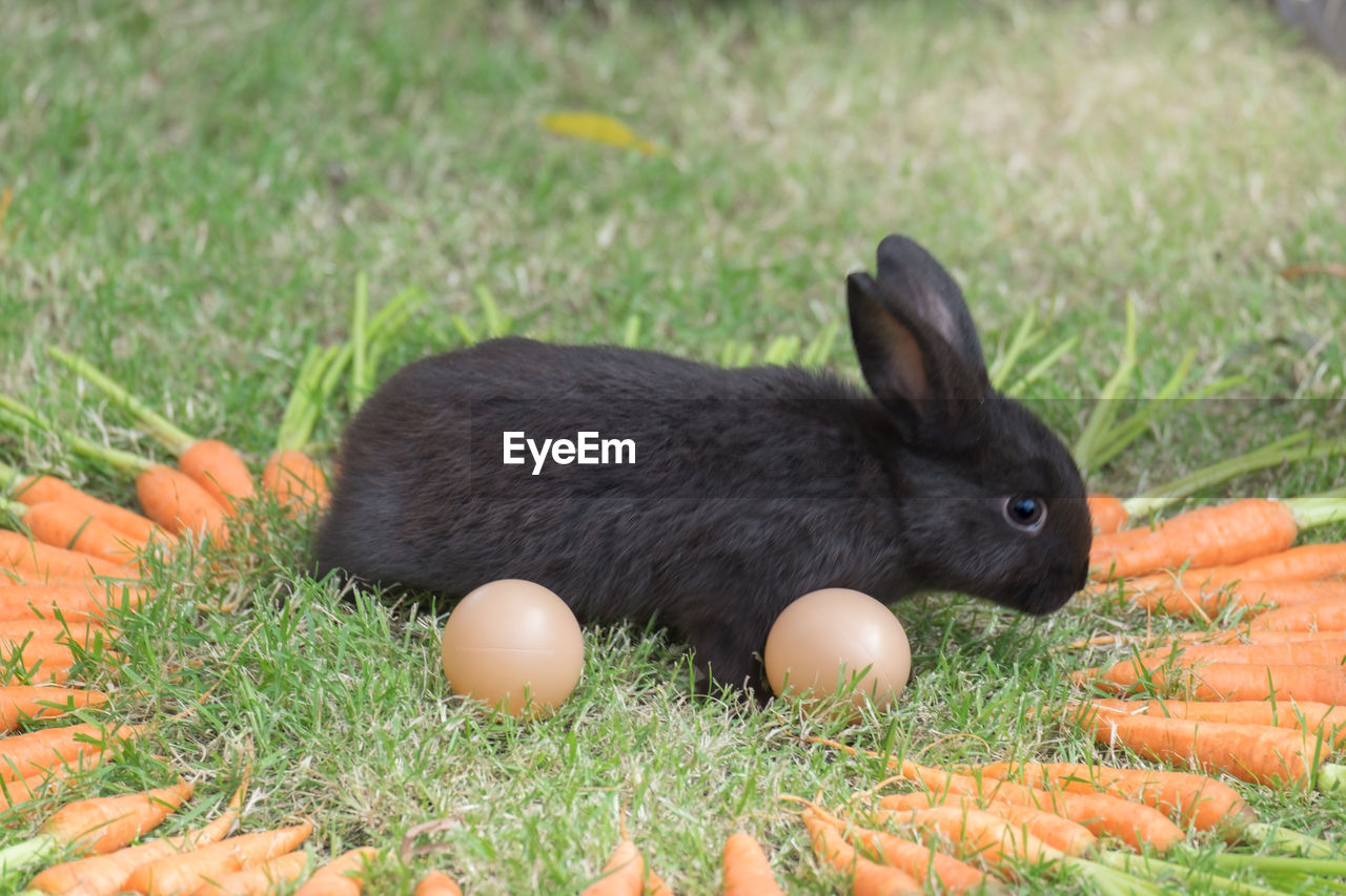 animal, animal themes, one animal, vertebrate, grass, mammal, food, animal wildlife, no people, nature, plant, land, day, pets, field, food and drink, selective focus, domestic, close-up, carrot, outdoors