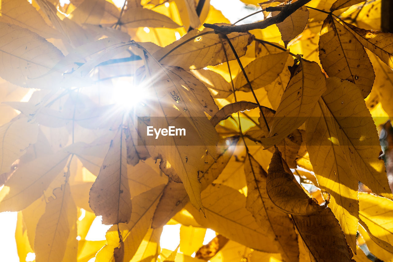 LOW ANGLE VIEW OF SUN STREAMING THROUGH AUTUMN LEAVES