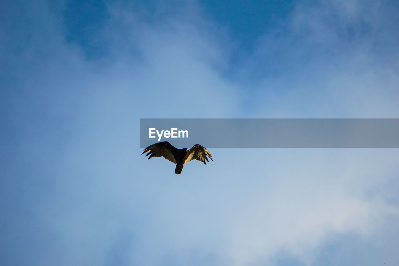 animals in the wild, animal wildlife, animal themes, flying, vertebrate, animal, bird, low angle view, cloud - sky, spread wings, sky, one animal, mid-air, no people, motion, day, beauty in nature, nature, outdoors, bird of prey, eagle