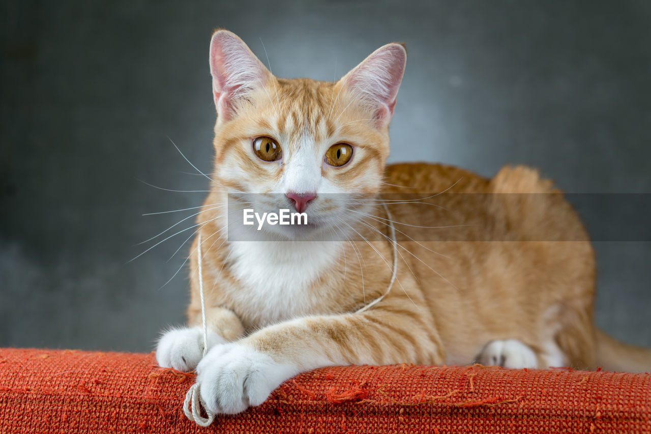pets, cat, feline, domestic, domestic animals, domestic cat, mammal, one animal, animal themes, animal, vertebrate, looking at camera, portrait, whisker, indoors, no people, focus on foreground, close-up, relaxation, orange color, ginger cat, animal eye