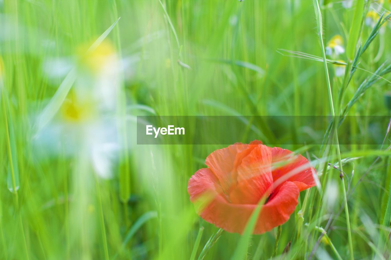 plant, beauty in nature, freshness, fragility, growth, flower, flowering plant, vulnerability, green color, petal, nature, flower head, grass, inflorescence, close-up, field, land, selective focus, red, day, no people, poppy, outdoors