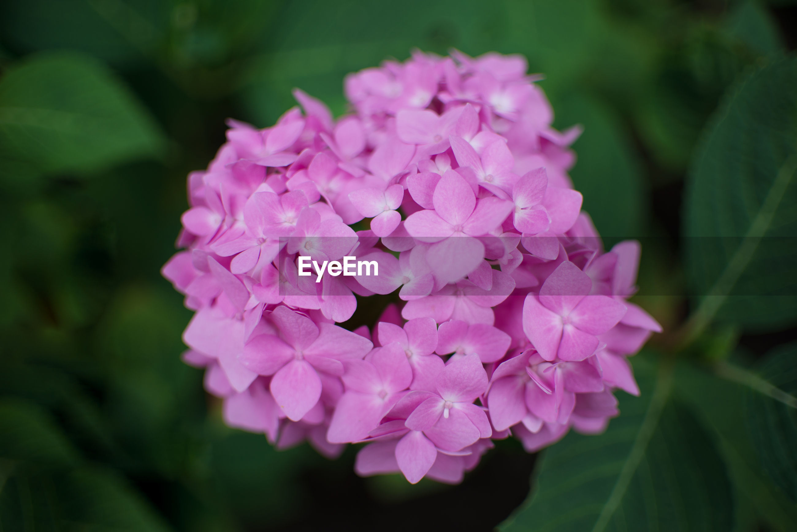 flower, flowering plant, plant, pink, beauty in nature, freshness, petal, close-up, nature, inflorescence, flower head, fragility, leaf, plant part, growth, lilac, no people, springtime, macro photography, hydrangea, magenta, outdoors, focus on foreground, blossom, purple