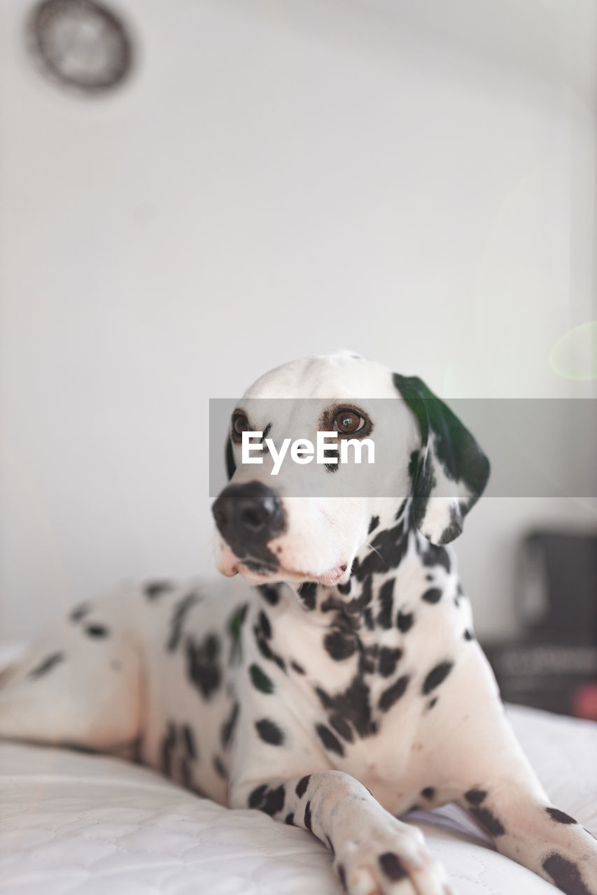 dalmatian dog, dog, canine, domestic animals, one animal, domestic, pets, animal themes, mammal, animal, vertebrate, indoors, spotted, focus on foreground, no people, home interior, white color, furniture, relaxation, bed