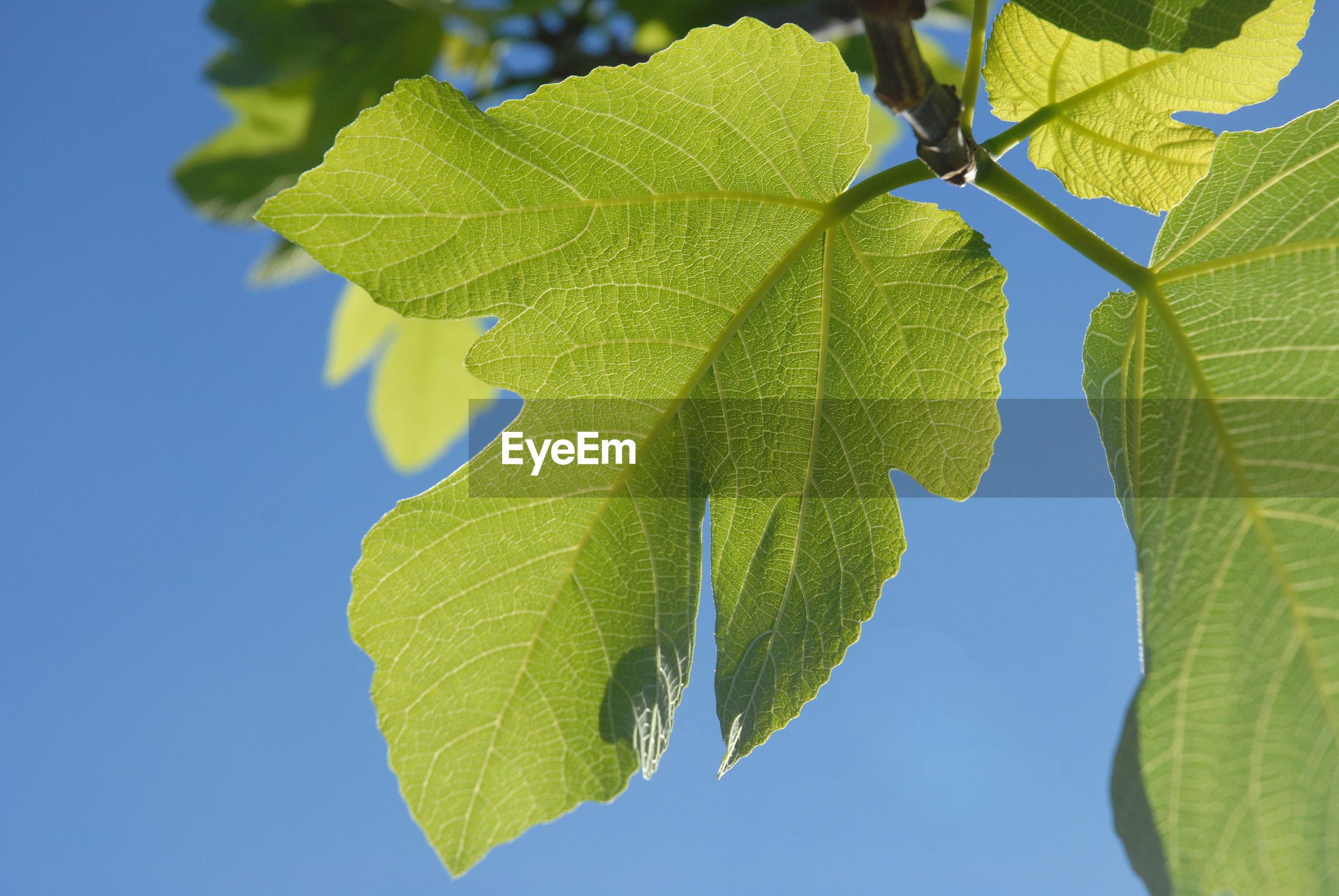 Fig leaf against blue sky