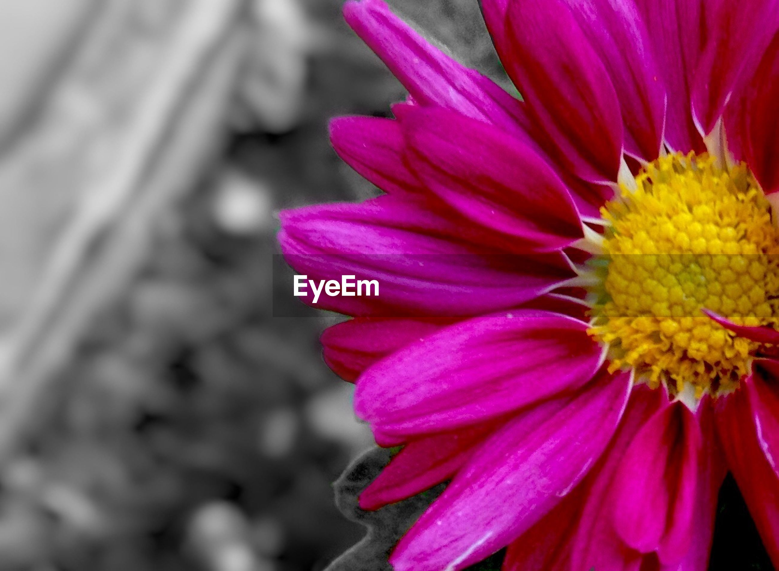 flower, petal, freshness, flower head, fragility, close-up, yellow, beauty in nature, growth, blooming, pink color, nature, purple, pollen, focus on foreground, selective focus, vibrant color, in bloom, no people, plant
