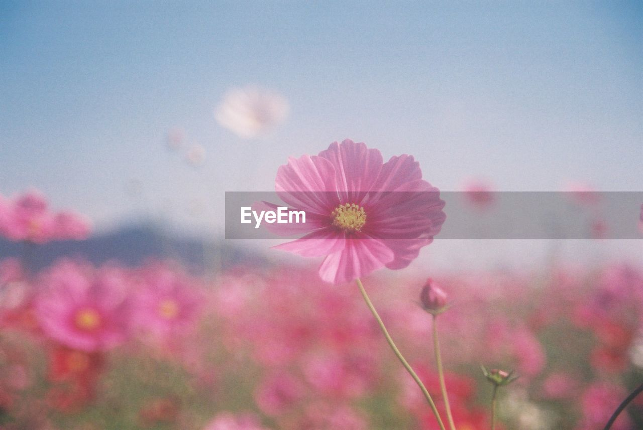 flower, growth, nature, blooming, cosmos flower, petal, plant, beauty in nature, fragility, freshness, no people, flower head, outdoors, close-up, day